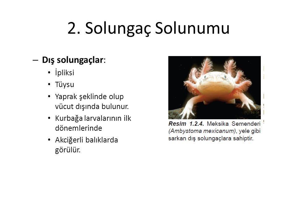 2. Solungaç Solunumu Dış solungaçlar: İpliksi Tüysu
