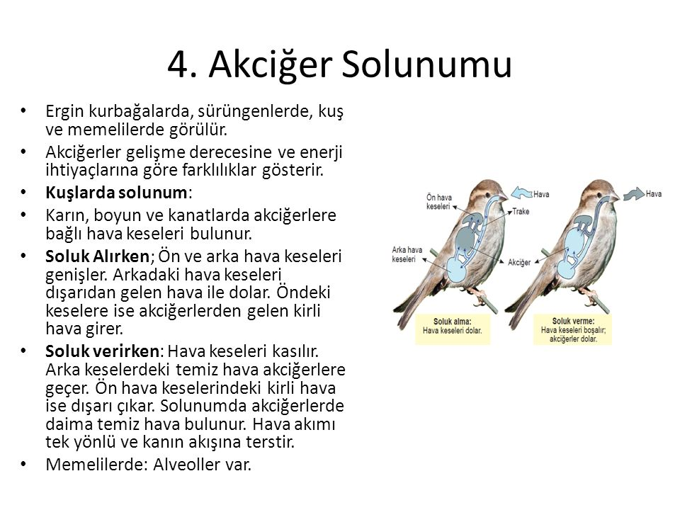 4. Akciğer Solunumu Ergin kurbağalarda, sürüngenlerde, kuş ve memelilerde görülür.