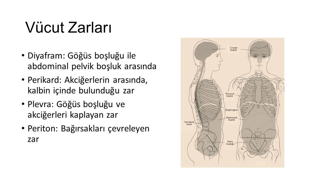 Vücut Zarları Diyafram: Göğüs boşluğu ile abdominal pelvik boşluk arasında. Perikard: Akciğerlerin arasında, kalbin içinde bulunduğu zar.