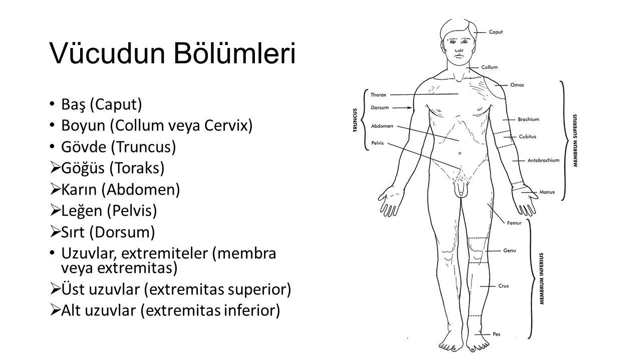 Vücudun Bölümleri Baş (Caput) Boyun (Collum veya Cervix)