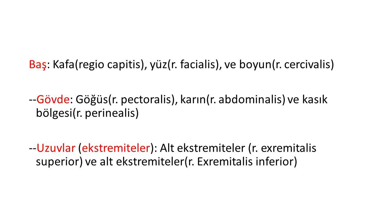 Baş: Kafa(regio capitis), yüz(r. facialis), ve boyun(r