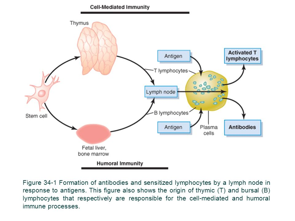 Figure 34-1 Formation of antibodies and sensitized lymphocytes by a lymph node in response to antigens.