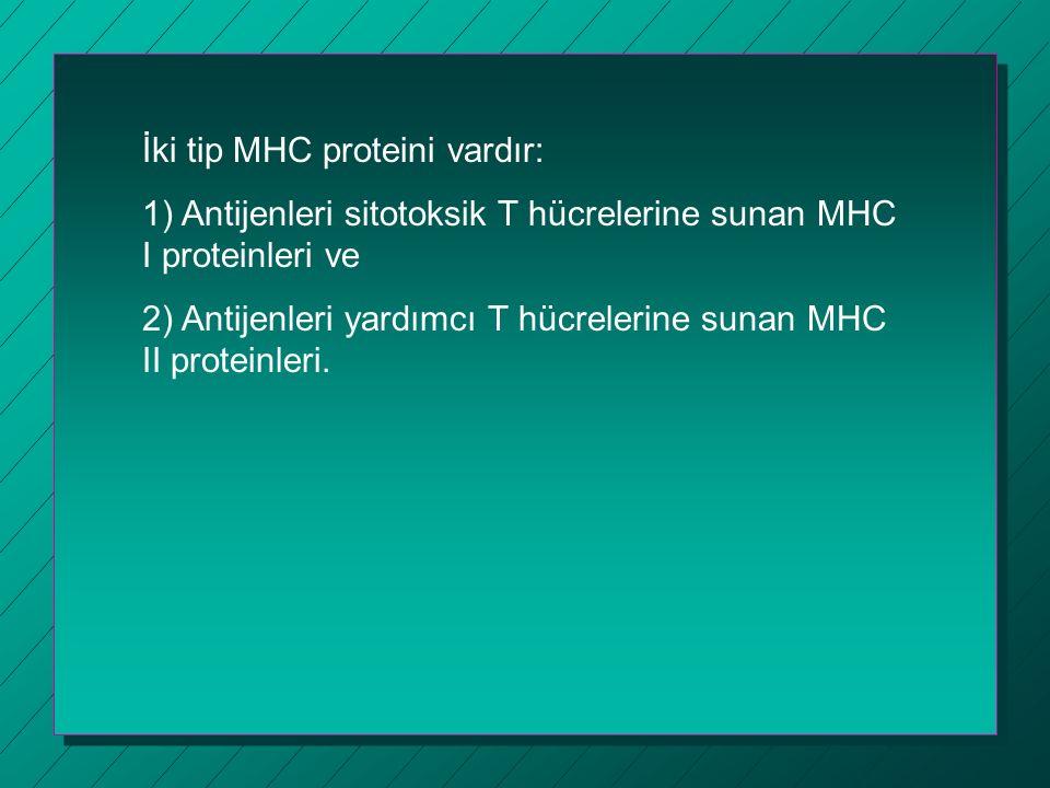 İki tip MHC proteini vardır: