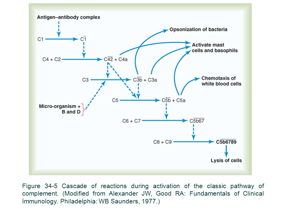 Figure 34-5 Cascade of reactions during activation of the classic pathway of complement.