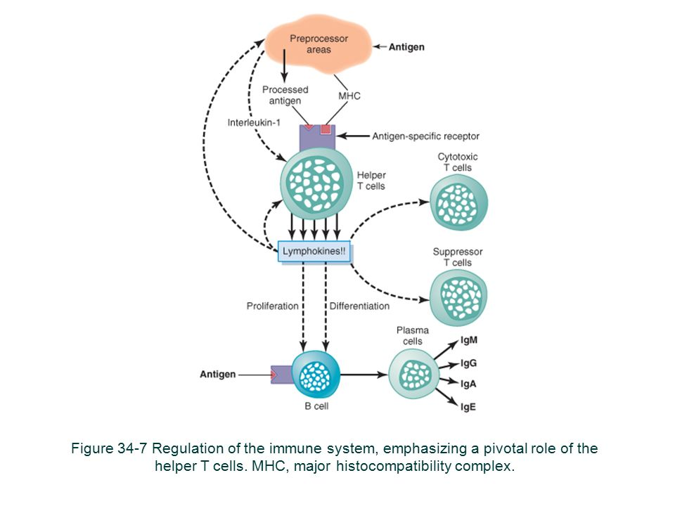 Figure 34-7 Regulation of the immune system, emphasizing a pivotal role of the helper T cells.