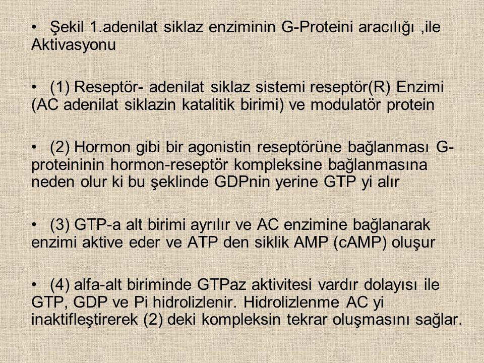 Şekil 1.adenilat siklaz enziminin G-Proteini aracılığı ,ile Aktivasyonu