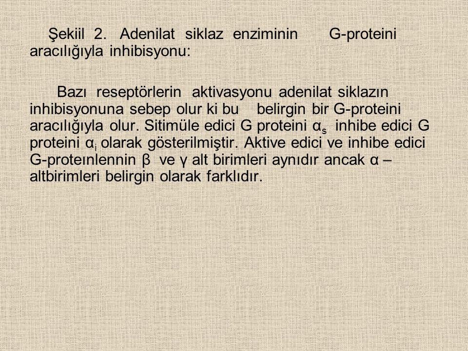 Şekiil 2. Adenilat siklaz enziminin G-proteini aracılığıyla inhibisyonu: