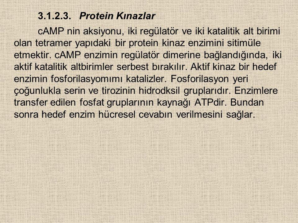 3.1.2.3. Protein Kınazlar