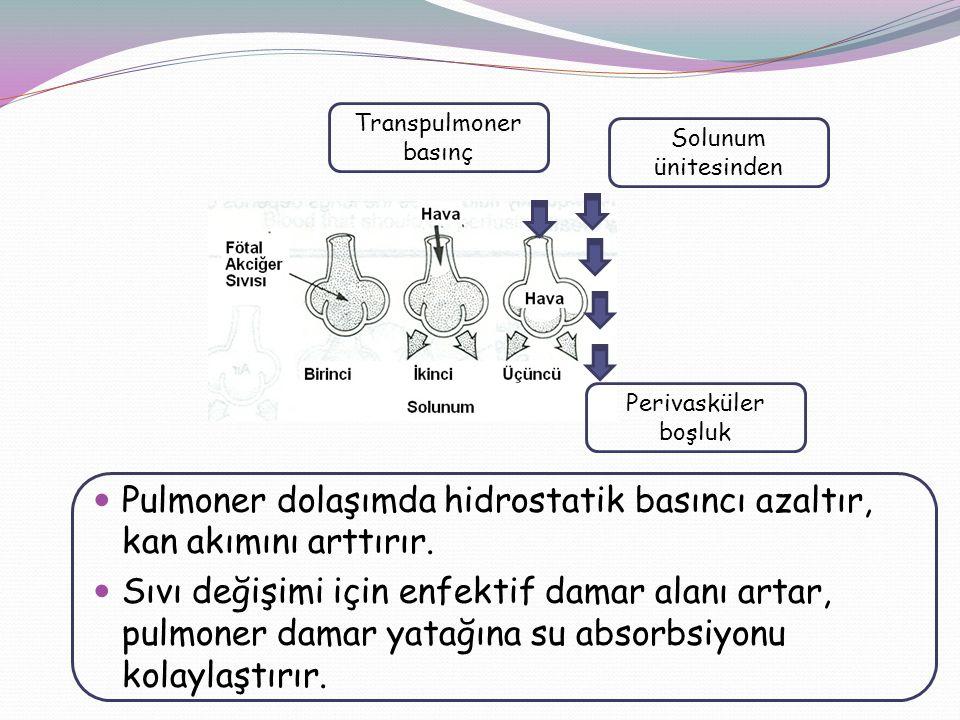 Pulmoner dolaşımda hidrostatik basıncı azaltır, kan akımını arttırır.