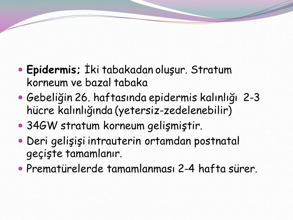 Epidermis; İki tabakadan oluşur. Stratum korneum ve bazal tabaka