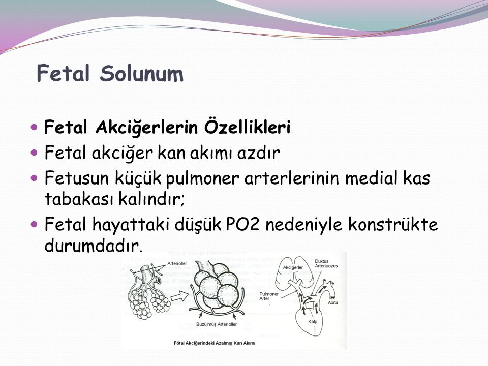 Fetal Solunum Fetal Akciğerlerin Özellikleri