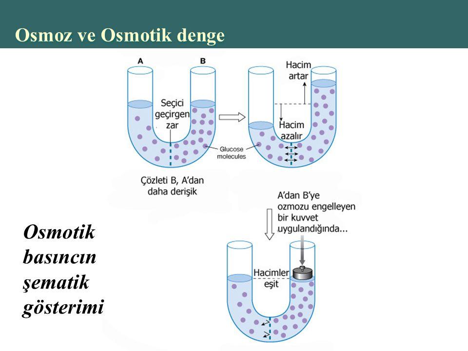 Osmoz ve Osmotik denge Osmotik basıncın şematik gösterimi