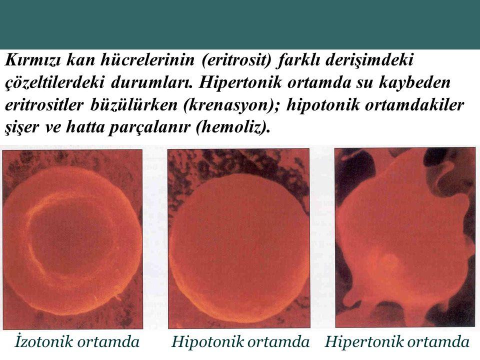 Kırmızı kan hücrelerinin (eritrosit) farklı derişimdeki çözeltilerdeki durumları. Hipertonik ortamda su kaybeden eritrositler büzülürken (krenasyon); hipotonik ortamdakiler şişer ve hatta parçalanır (hemoliz).