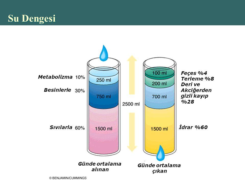 Su Dengesi Metabolizma Besinlerle Sıvılarla Günde ortalama alınan