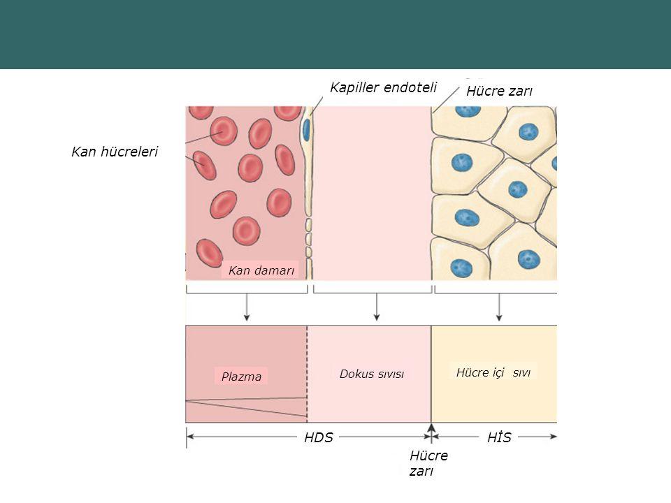 Kapiller endoteli Hücre zarı Kan hücreleri Hücre zarı HDS HİS