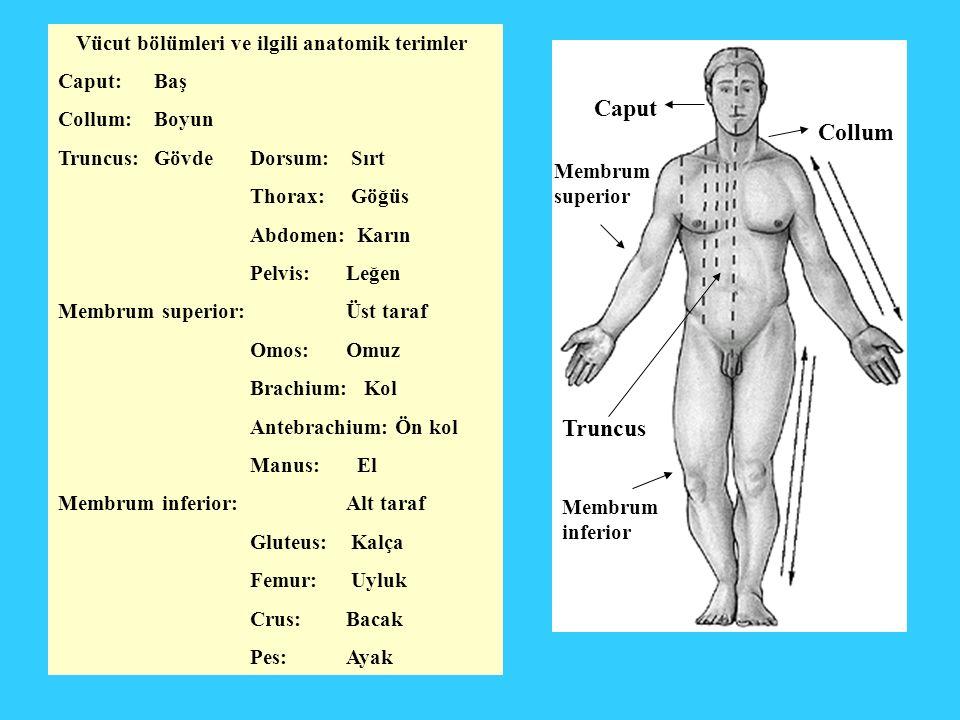 Vücut bölümleri ve ilgili anatomik terimler