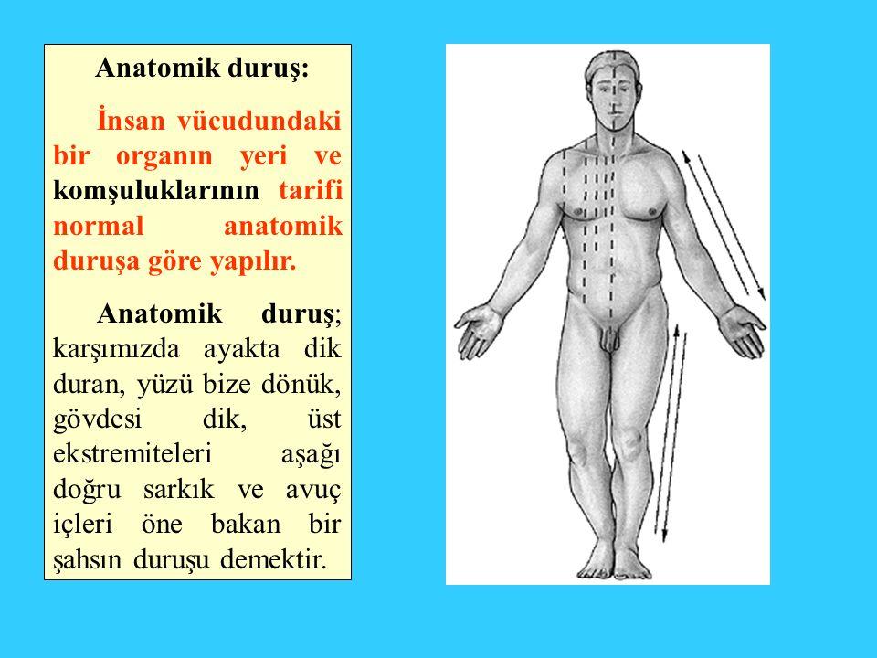 Anatomik duruş: İnsan vücudundaki bir organın yeri ve komşuluklarının tarifi normal anatomik duruşa göre yapılır.