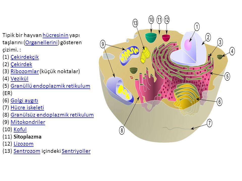 Tipik bir hayvan hücresinin yapı taşlarını (Organellerini) gösteren çizimi. : (1) Çekirdekçik (2) Çekirdek (3) Ribozomlar (küçük noktalar) (4) Vezikül (5) Granüllü endoplazmik retikulum (ER) (6) Golgi aygıtı (7) Hücre iskeleti (8) Granülsüz endoplazmik retikulum (9) Mitokondriler (10) Koful (11) Sitoplazma (12) Lizozom (13) Sentrozom içindeki Sentriyoller