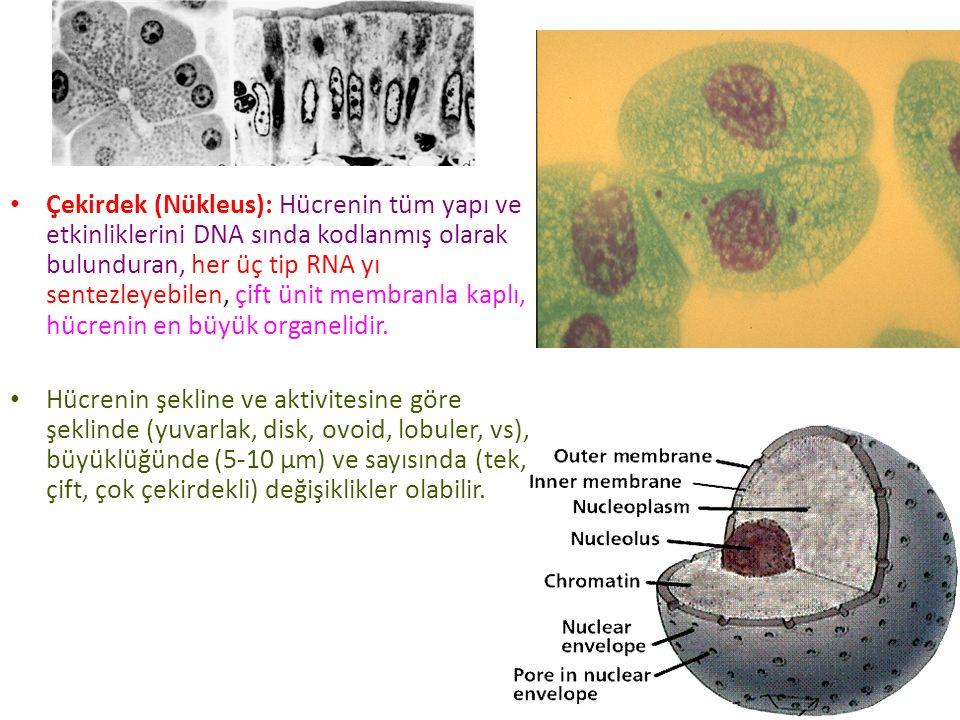 Çekirdek (Nükleus): Hücrenin tüm yapı ve etkinliklerini DNA sında kodlanmış olarak bulunduran, her üç tip RNA yı sentezleyebilen, çift ünit membranla kaplı, hücrenin en büyük organelidir.