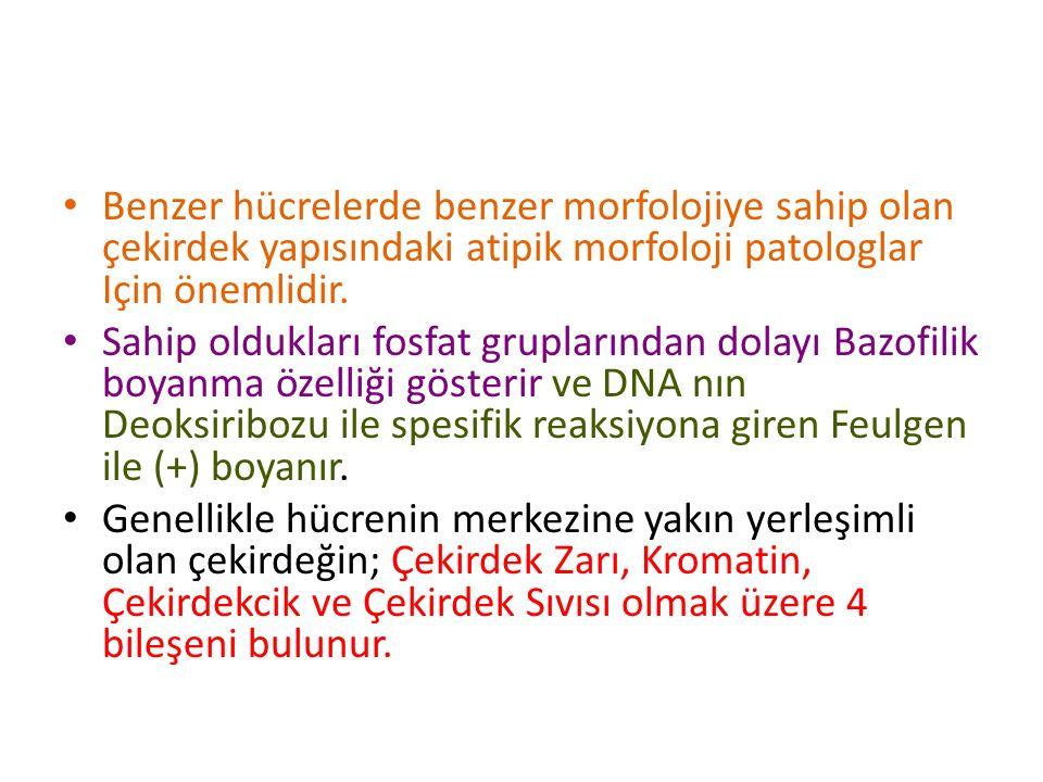 Benzer hücrelerde benzer morfolojiye sahip olan çekirdek yapısındaki atipik morfoloji patologlar Için önemlidir.