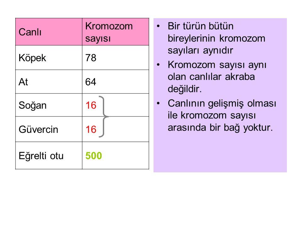 Canlı Kromozom sayısı. Köpek. 78. At. 64. Soğan. 16. Güvercin. Eğrelti otu. 500. Bir türün bütün bireylerinin kromozom sayıları aynıdır.