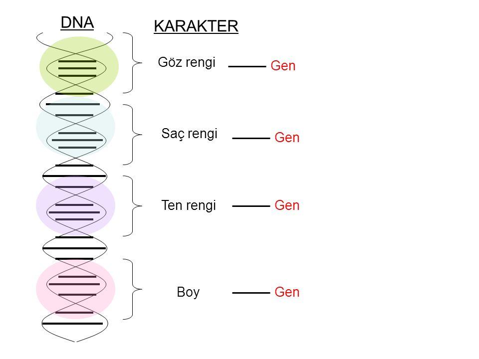 DNA KARAKTER Göz rengi Gen Saç rengi Gen Ten rengi Gen Boy Gen