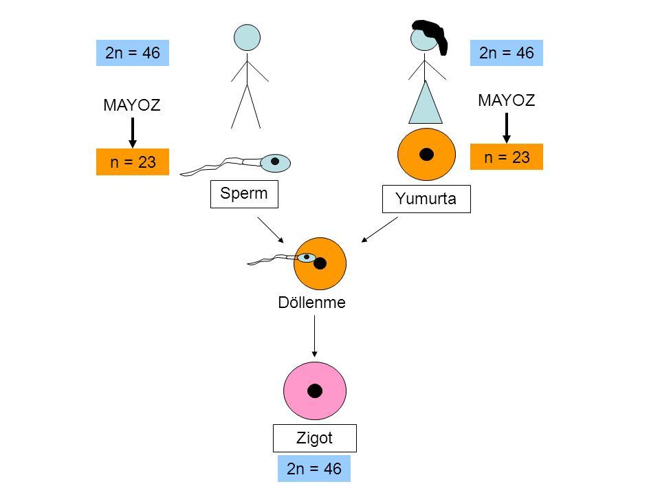 2n = 46 2n = 46 MAYOZ MAYOZ n = 23 n = 23 Sperm Yumurta Döllenme Zigot 2n = 46