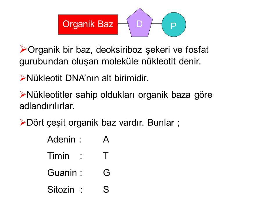 P D. Organik Baz. Organik bir baz, deoksiriboz şekeri ve fosfat gurubundan oluşan moleküle nükleotit denir.