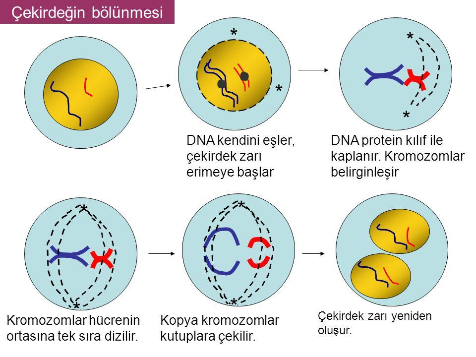 * Çekirdeğin bölünmesi DNA kendini eşler, çekirdek zarı erimeye başlar
