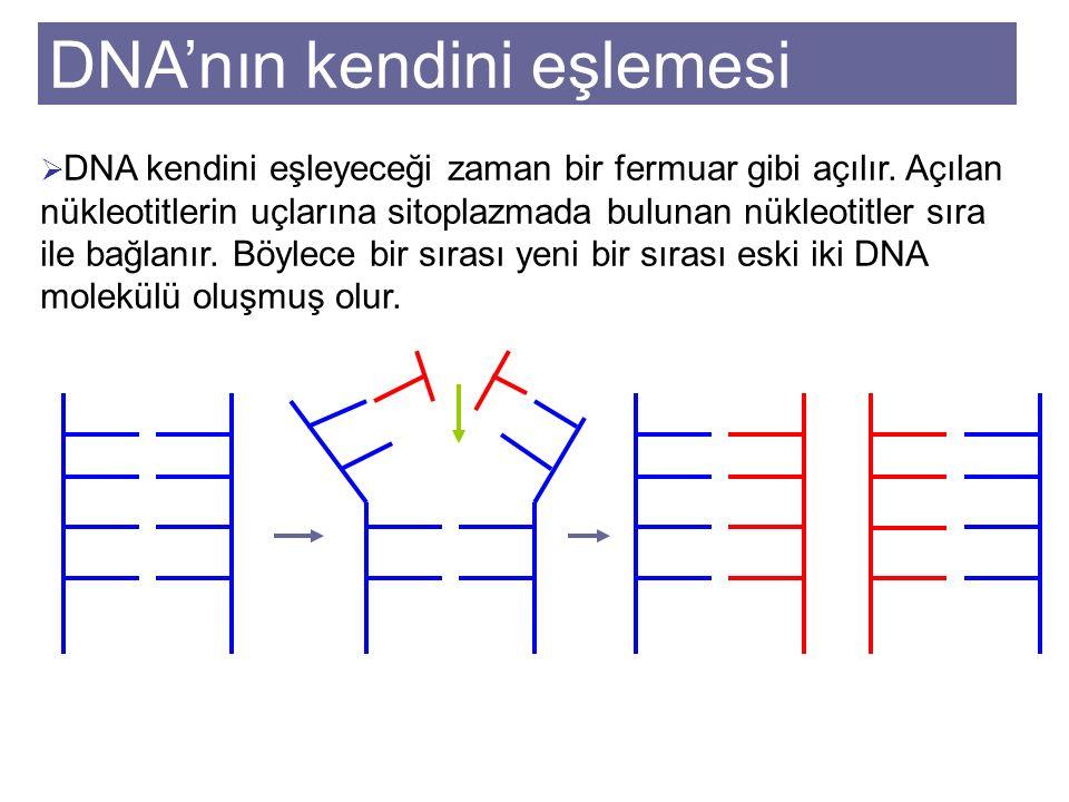 DNA'nın kendini eşlemesi
