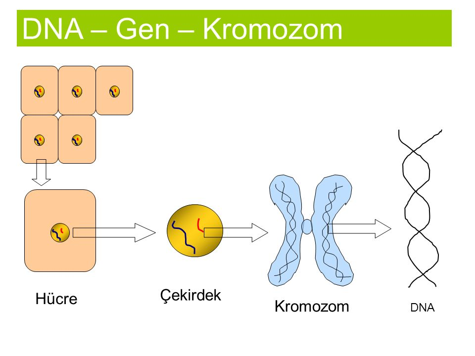 DNA – Gen – Kromozom Çekirdek Hücre Kromozom DNA