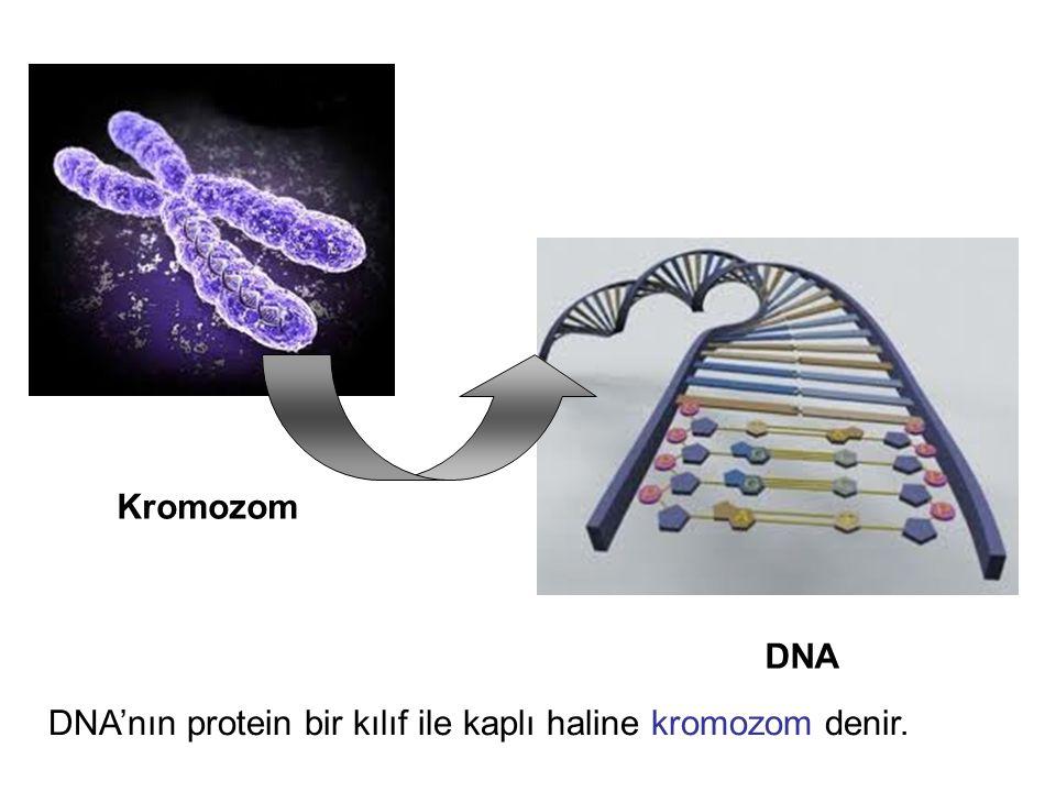 Kromozom DNA DNA'nın protein bir kılıf ile kaplı haline kromozom denir.