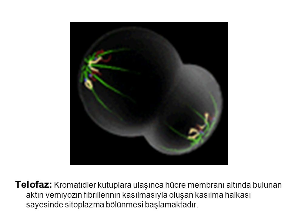 Telofaz: Kromatidler kutuplara ulaşınca hücre membranı altında bulunan aktin vemiyozin fibrillerinin kasılmasıyla oluşan kasılma halkası sayesinde sitoplazma bölünmesi başlamaktadır.