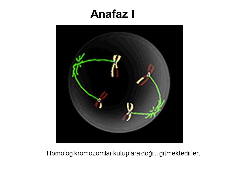 Anafaz I Homolog kromozomlar kutuplara doğru gitmektedirler.