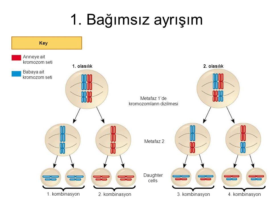 Metafaz 1'de kromozomların dizilmesi