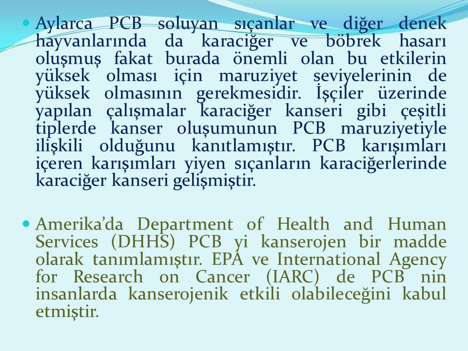Aylarca PCB soluyan sıçanlar ve diğer denek hayvanlarında da karaciğer ve böbrek hasarı oluşmuş fakat burada önemli olan bu etkilerin yüksek olması için maruziyet seviyelerinin de yüksek olmasının gerekmesidir. İşçiler üzerinde yapılan çalışmalar karaciğer kanseri gibi çeşitli tiplerde kanser oluşumunun PCB maruziyetiyle ilişkili olduğunu kanıtlamıştır. PCB karışımları içeren karışımları yiyen sıçanların karaciğerlerinde karaciğer kanseri gelişmiştir.