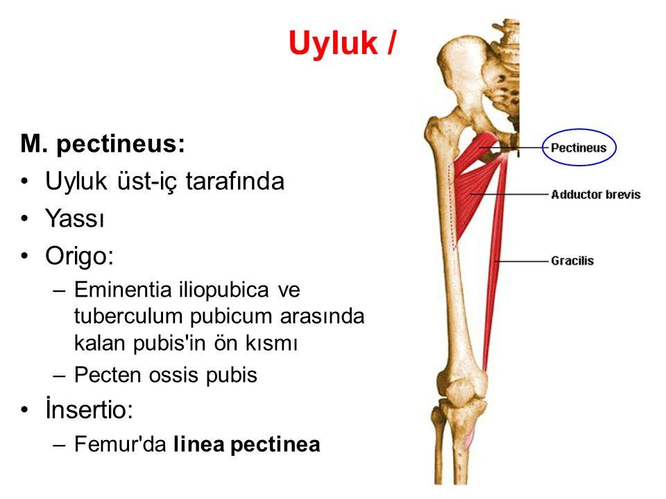 Uyluk / Kasları M. pectineus: Uyluk üst-iç tarafında Yassı Origo: