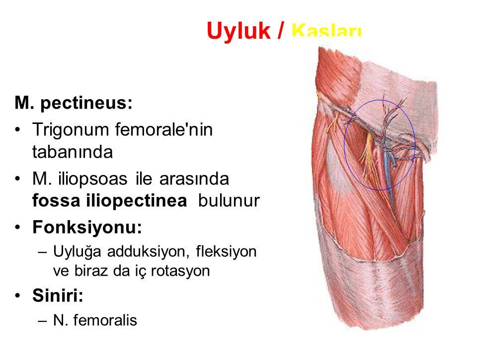 Uyluk / Kasları M. pectineus: Trigonum femorale nin tabanında