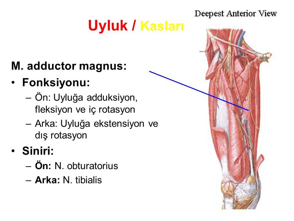 Uyluk / Kasları M. adductor magnus: Fonksiyonu: Siniri: