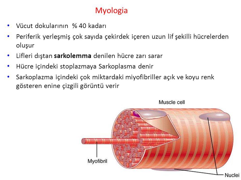 Myologia Vücut dokularının % 40 kadarı
