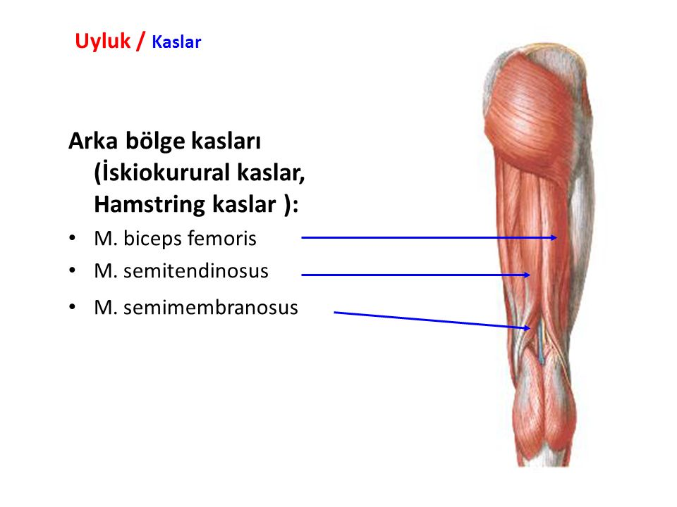 Arka bölge kasları (İskiokurural kaslar, Hamstring kaslar ):