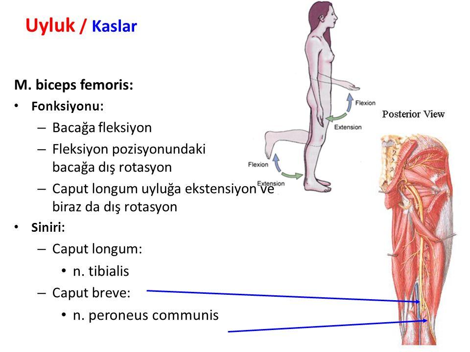 Uyluk / Kaslar M. biceps femoris: n. tibialis n. peroneus communis