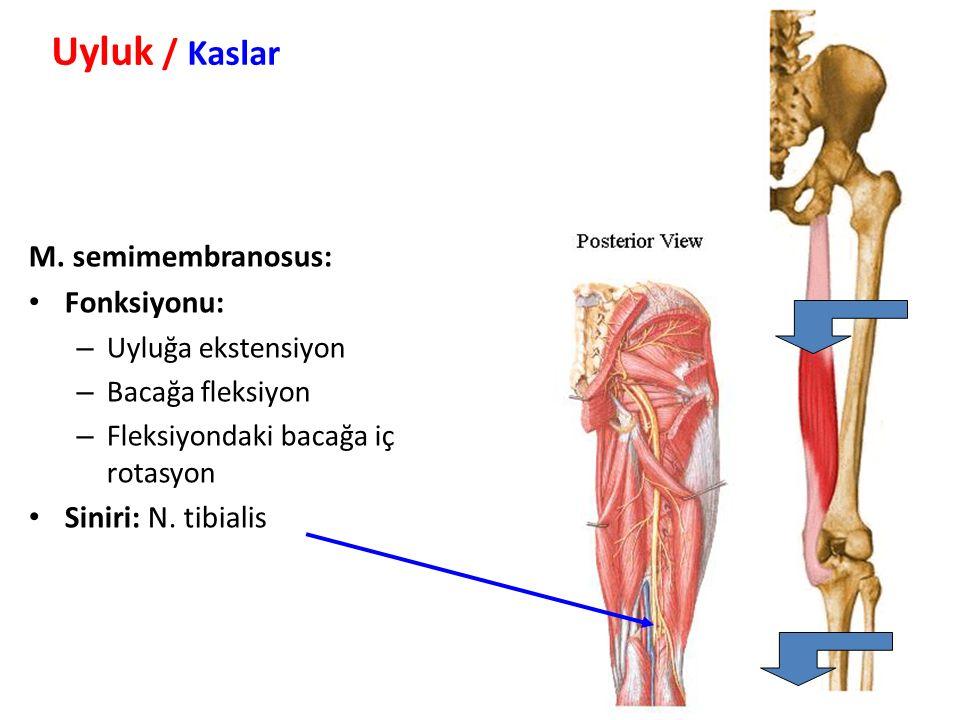 Uyluk / Kaslar M. semimembranosus: Fonksiyonu: Siniri: N. tibialis