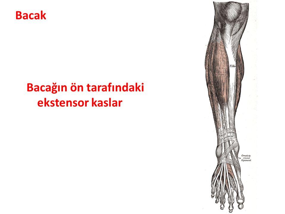 Bacak Bacağın ön tarafındaki ekstensor kaslar
