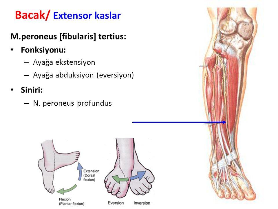 Bacak/ Extensor kaslar