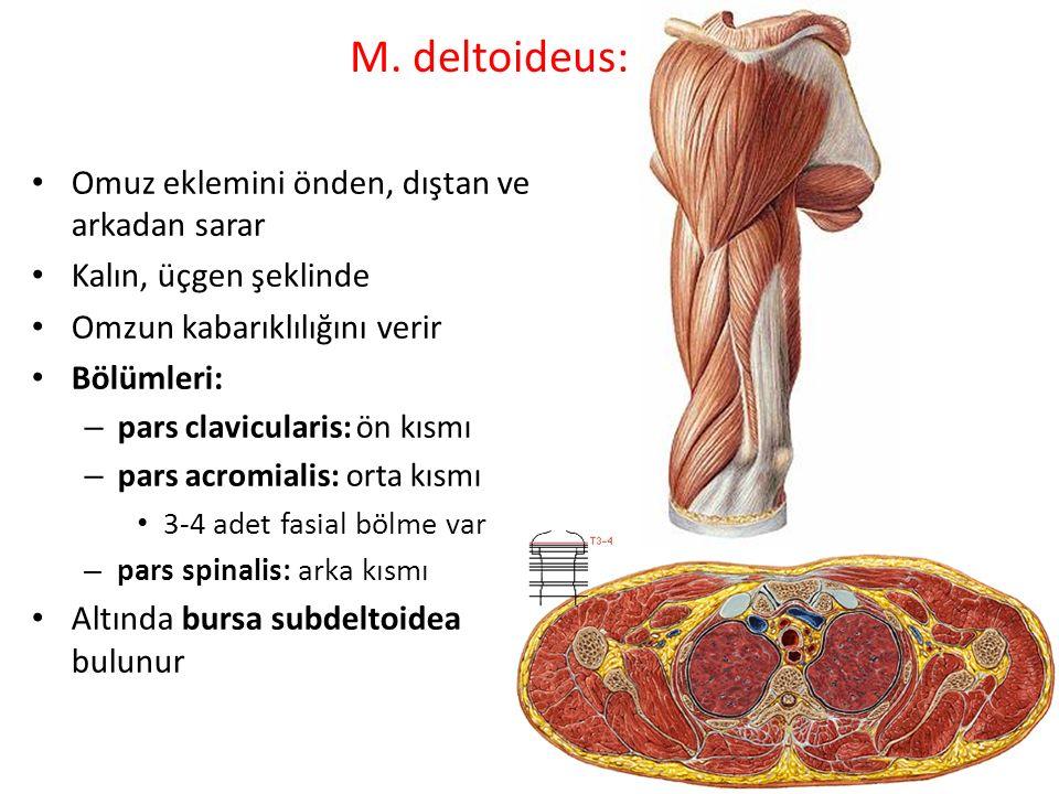 M. deltoideus: Omuz eklemini önden, dıştan ve arkadan sarar