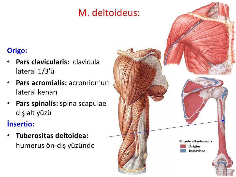 M. deltoideus: Origo: Pars clavicularis: clavicula lateral 1/3 ü