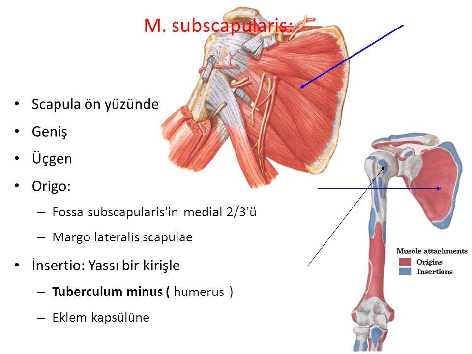 M. subscapularis: Scapula ön yüzünde Geniş Üçgen Origo: