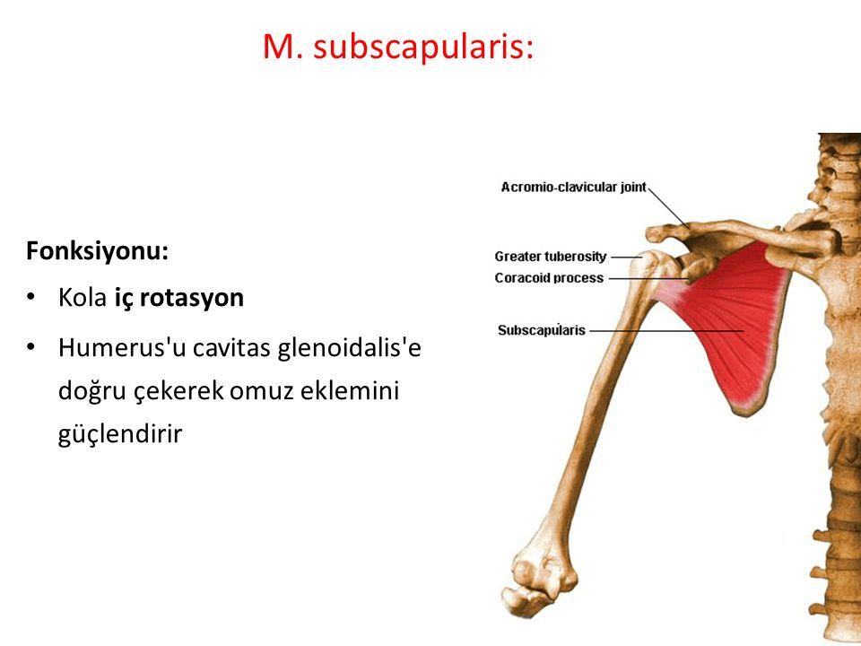 M. subscapularis: Fonksiyonu: Kola iç rotasyon