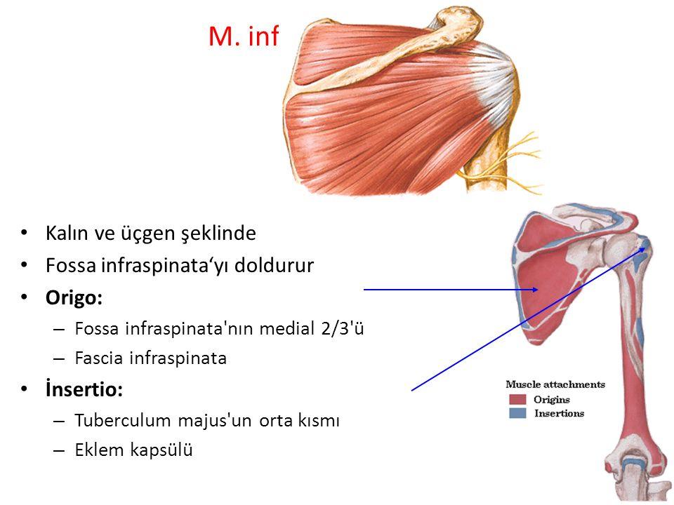 M. infraspinatus: Kalın ve üçgen şeklinde